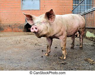 豬圈, 豬