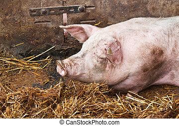 豬, 睡覺