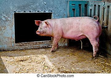 豬, 穩定