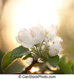 開花, 樹, 蘋果, 分支