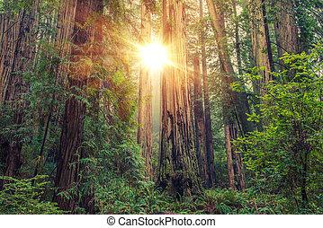 陽光普照, 紅杉森林