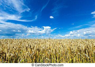 陽光普照, 黃金, 小麥, 天, 領域