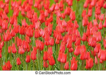 非常, 淺, 紅色, 鬱金香, 集中