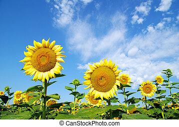 領域, 向日葵