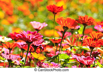領域, 花, 雛菊