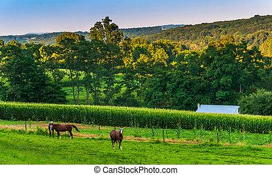 馬, 農場, 縣, pennsylvania., cornfield, 約克, 鄉村