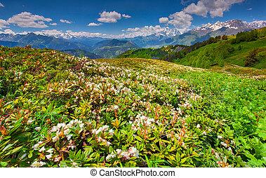 高加索, 山。, 草地, 阿爾卑斯山