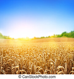 黃金, 小麥田地