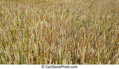 黃金, 領域, day., 陽光普照, 小麥