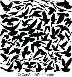 黑色半面畫像, 鴿子