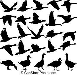 黑色, 鵝, 黑色半面畫像