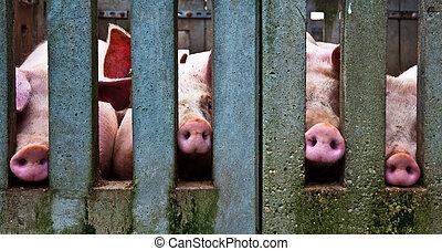 鼻子, 豬