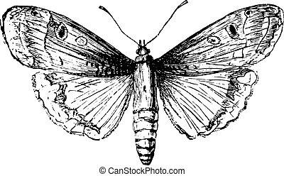 engraving., 葡萄酒, moth