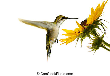 hummingbird., throated, 紅寶石
