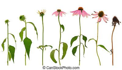 purpurea, 背景, 被隔离, echinacea, 白色, 演化, 花