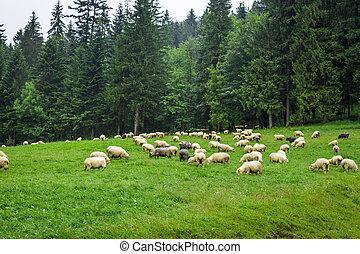 sheep, 山, 小山, 牧群