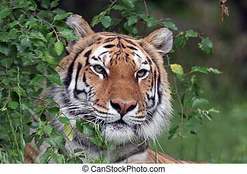 tiger, 肖像, 西伯利亞